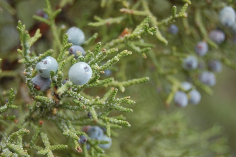 Certain Western Juniper on the Island inhabit all male or all female characteristics.