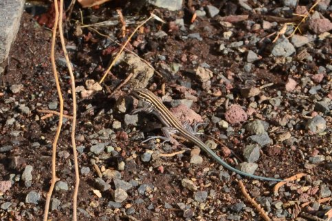 Baby Striped Whiptail. Notice blue tail.