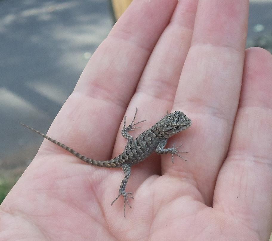 Lizard The Cove Rattler