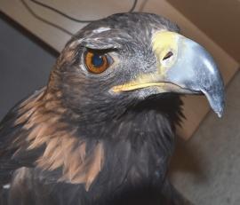 Aquila the Golden Eagle, Sunriver Nature Center.