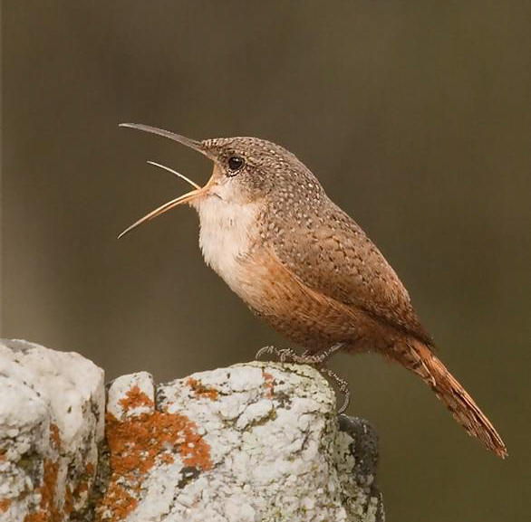 canyon-wren.jpg
