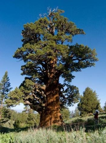 bennett juniper tree
