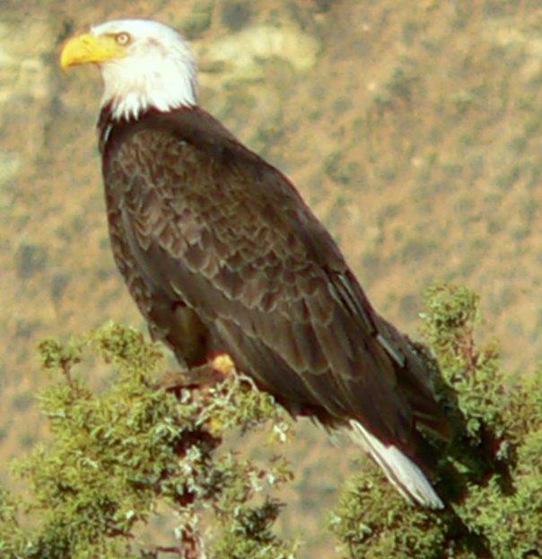 eagle in Mem's yard 2012 (2)