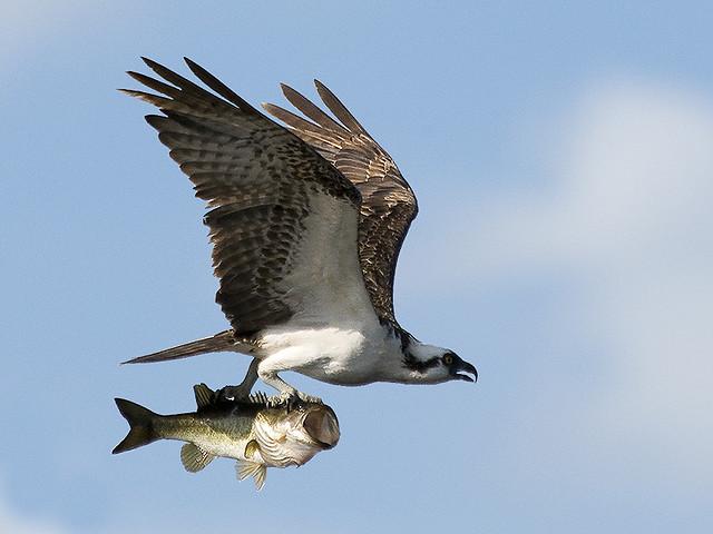 osprey-with-bass