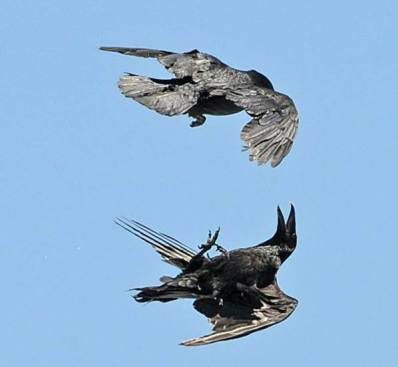 crows flying upside down