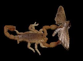 scorpion with moth