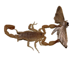 scorpion with moth