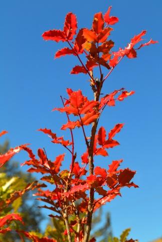 Oregon Grape (Mahonia aquifolium)