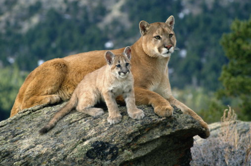 COUGAR AND CUB IN WESTERN MONTANA