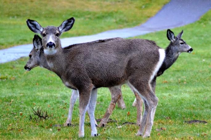 deer at CR camp