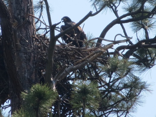 Image result for bend oregon eagle nest in bend
